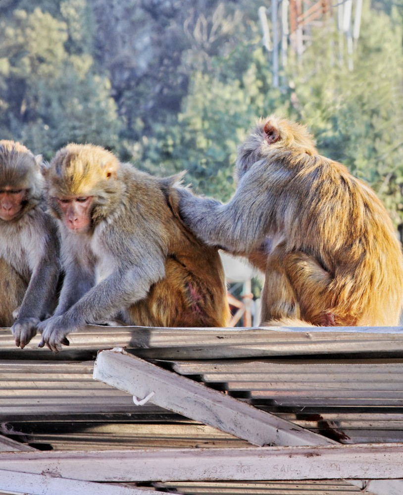 Simian monkey picking