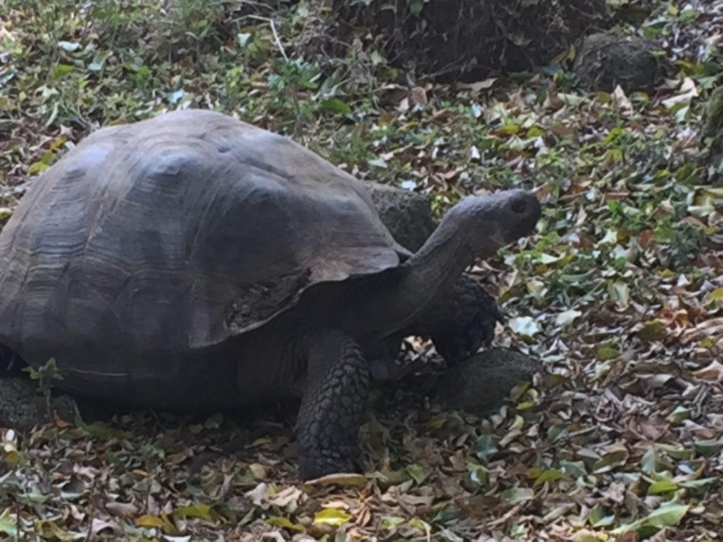 The Giant Tortoises once ruled the Galapagos, until man brought invasive species along to the islands. In turn, the food & water resources were consumed by other animals greatly depreciating the tortoise population into endangered status